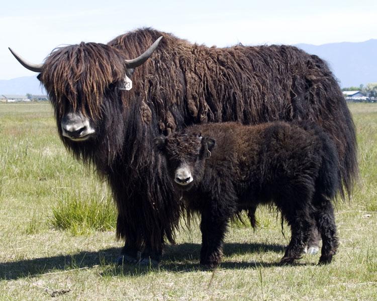 Image Of A Yak: Yak Breeding Stock